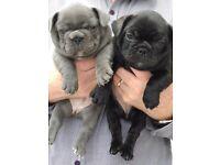 Quality KC French Bulldog Puppies/Blue Girl/Black Boy/Black Brindle Girl