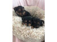 Yorkshire terrier miniture puppies