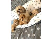 Cavapoochon pups