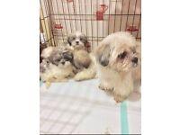 Shih Tzu Puppies For Sale In Scotland Pets Gumtree