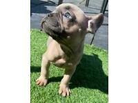 French bulldog puppies With KC papers. DNA Tested