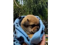 Imperial Shih-Chi puppies needing their new homes this September