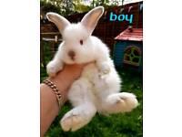BABY BUNNY RABBIT- 1 BOY
