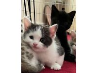 Reduced Ragdoll kittens…. ready now
