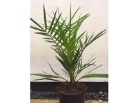 Hardy palm trees
