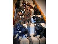 **£1800 ONO**Beautiful F1 Cockapoo Puppies