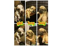 Absolutely adorable staff X pups for sale