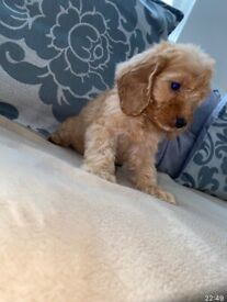 f1 red cockapoo puppies for sale
