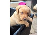 KC Registered Labrador puppies, 2 available now