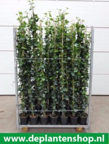 hedera planten per meter