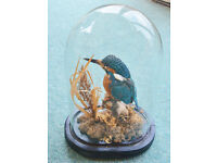 Taxidermy Kingfisher on plinth covered by a glass dome.