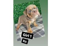 English bulldog kc