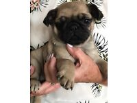 Beautiful Pedigree pug puppies (KC registered) for Sale ready for a loving home