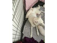 German Shepard white puppy's