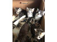Beautiful friendly tabby kittens