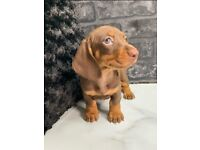 Miniature Dachshund Male & Female Choc & Tans Available