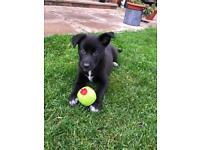 Collie X Staffy puppy • Northern Ireland Only •