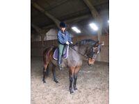 Lovely Hunter/Dressage/Ladies Horse