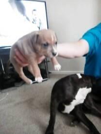 Staffy girl pups