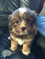 The cutest little puppy for sale!!