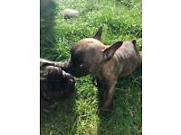 French bulldog puppies - last girl available!