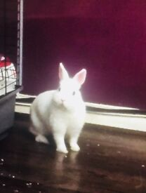 Netherlands dwarf white fluffy rabbit for sale including a cage with 2 floors