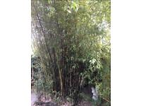 Large black bamboo Phyllostachys nigra plant to be dug up - make me a sensible offer for some/all