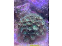 Marine clownfish and coral fox sale
