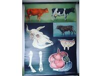 German anatomical chart of cattle