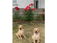 Two Beautiful IKC Female Labrador Puppies