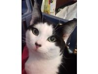 Lost Cat - Scooby Black white short hair, Brake Hill Area. BBL