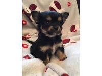 Chihuahua boy ready now