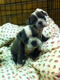 Blue old Tyme pups for sale