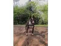 10 MONTH OLD ENGLISH BULL TERRIER NEUTURED