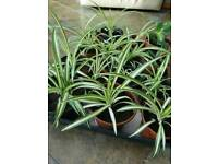 Baby spider plants £4 each , houseplant