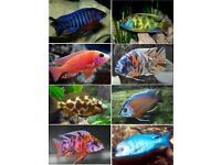 Malawi Cichlid's for Sale - Please see description for species and sizes