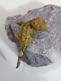 Young Dal/Ink Spot Crested Gecko