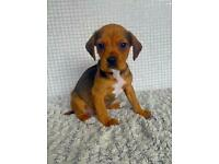 Doxle Puppy For Sale