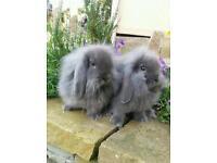 Baby mini lion lop rabbit's