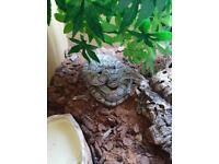 2 Year Old Female Corn Snake With Viv, Heat Mat + Lamp