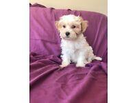 Maltese x shih tzu puppies