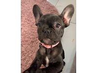 French bulldog puppy for sale!(female)