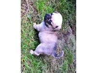 Beautiful 3/4 Pug, 1/4 French Bulldog Puppies