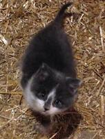 Longhaired grey and white male kitten