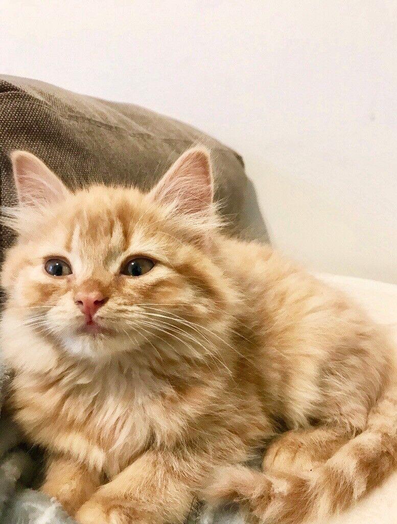 Goregous Ginger furry kitten 10 weeks old