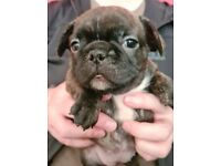Beautiful litter of quality KC registered French Bulldog puppies