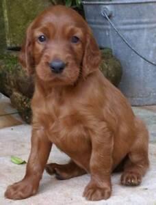 Irish Setter Puppies | Dogs & Puppies | Gumtree Australia Eastern