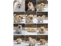 Beautiful Pomeranian / volpino puppys for sale