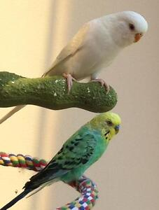 Need loving home for colourful Budgies