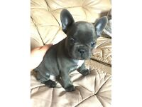 Stunning blue KC Reg French bulldog Frenchie puppy ready soon
